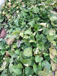 初めてのサツマイモ掘り - my small garden~sugar plum~