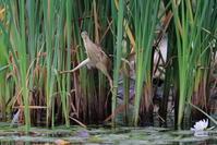 S沼のヨシゴイの開脚と飛び出し - 銀狐の鳥見