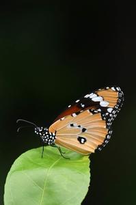 迷蝶カバマダラが飛んできた - 続・蝶と自然の物語