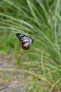 アサギマダラ・・・落書きいっぱい - 続・蝶と自然の物語