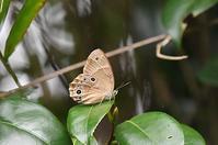 ヒカゲチョウ(日本固有種) - 続・蝶と自然の物語