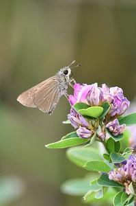 チャバネセセリ - 続・蝶と自然の物語