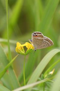 ミヤコグサにウラナミシジミ - 続・蝶と自然の物語