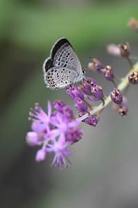 和歌山県絶滅危惧種Ⅱ類クロツバメシジミ - 続・蝶と自然の物語