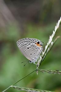 クロマダラソテツシジミ - 続・蝶と自然の物語