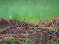 思うように・・・ノビタキ。 - 鳥見んGOO!(とりみんぐー!)野鳥との出逢い