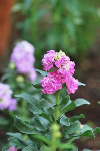 10/6花壇に彩りを - 「あなたに似た花。」