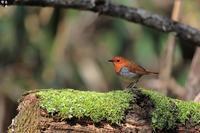 姿も綺麗で、鳴き声も可愛いコマドリ - 野鳥公園