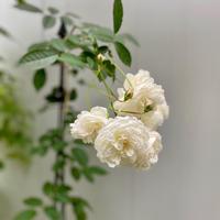 秋の庭で咲く薔薇 - Bleu Belle Fleur☆ブルーベルフルール