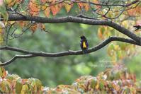 秋色の中で@キビタキ - とことんデジカメ