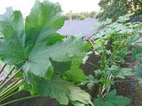 葉っぱも成長 - NATURALLY
