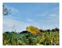 沼の蓮と睡蓮 - あおいそら