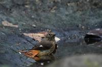 お嬢様達......ジョウビタキオオルリ - 新  鳥さんと遊ぼうⅡ