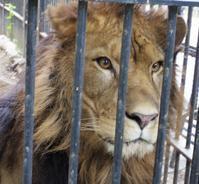 10月1日の帯広動物園の猫たち、など - 黄金絹毛鼠(コガネキヌゲネズミ)