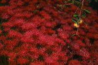 柿と彼岸花 - Capu-photo Digital photographic Laboratory