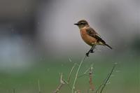 雨の田園にて・・・鳥さんとの出会い - 鳥と共に日々是好日②