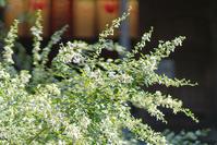 鎌倉・宝戒寺の白萩と白い彼岸花 - エーデルワイスブログ