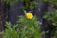 自然栽培霜はまだ仕舞い作業私の畑にはいらない - 自然栽培 釧路日記