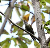 いつものホオノキに出かけたが(その1) - 一期一会の野鳥たち