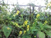 金水引 - だんご虫の花