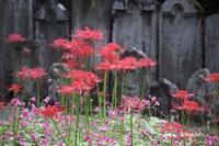 葛飾区にある宝蔵院に唐紅に輝く彼岸花(2) - 一場の写真 / 足立区リフォーム館・頑張る会社ブログ