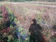 ショウガ収穫 - 長福ファームのブログ