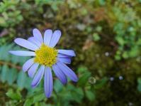 野菊の秋… - 侘助つれづれ