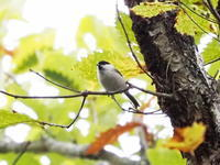 黄葉の中のコガラ - コーヒー党の野鳥と自然パート3