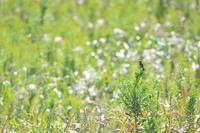 渡りのノビタキ - 瑞穂の国の野鳥たち