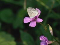 台風前散歩で出合った小さな蝶たち20202020/10/10in Tokyo - むっちゃんの花鳥風月  ( 鳥・猫・花・空・山 )