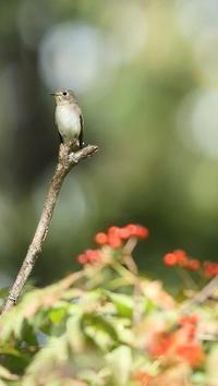 コサメビタキ - 北の野鳥たち