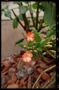 やっと咲いた「ホトトギス」とムスカリの芽・・・良き♡ - どんぐりの木の下で……