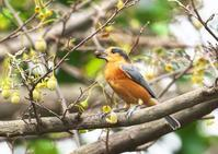 ベンケイヤマガラその2 - くまさんの二人で鳥撮り