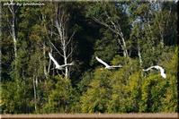 丹頂鶴の飛翔 - 北海道photo一撮り旅