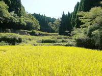 米作りの挑戦(2020)まもなく収穫!3年目の米作りは波乱もありながらなんとか順調?です!(前編) - FLCパートナーズストア