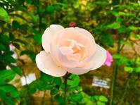 今朝の薔薇と嬉しい発見 - チョコROSEGARDEN