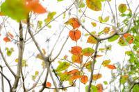 10月の野草園~紅葉の先走り - 柳に雪折れなし!Ⅱ