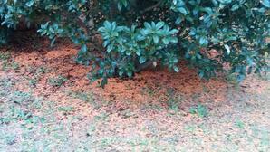 10月11日(日)7時過ぎ、曇り、朝の手賀沼散歩機場公園の金木犀が花びらを散らしていた。脇を歩くとポロポロと。 -