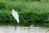 久しぶりに会えました「コアオアシシギ」さん♪と「ヨシゴイ」さん♪ー在庫からー - ケンケン&ミントの鳥撮りLifeⅡ