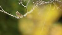 アオジ - 北の野鳥たち