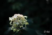 秋紫陽花 / Autumn Hydrangeas - Seeking Light - 光を探して。。。