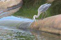 ありふれた鳥たち - 白鳥賛歌