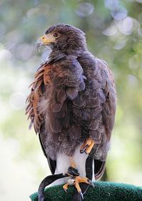 猛禽類フライトショー@安城産業文化公園デンパーク4 - から元気らくがき帳