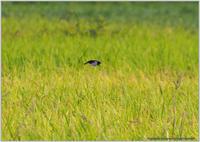 ツバメはスイスイ - 野鳥の素顔 <野鳥と日々の出来事>
