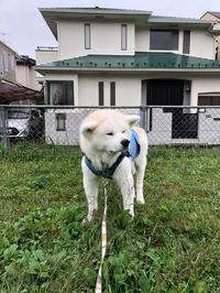 39回目 - 秋田犬「大和と飛鳥丸」の日々Ⅱ