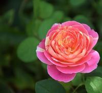 秋バラ開花② - バラとハーブのある暮らし Salon de Roses