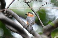 ベンケイヤマガラ - そらと林と鳥
