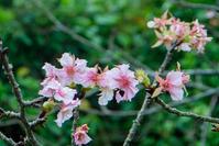 また咲いた河津桜。 - 雲空海