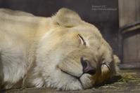 2020.2.29 宇都宮動物園☆ホワイトライオンのステルクとアルマル【White lion couple】 - 青空に浮かぶ月を眺めながら