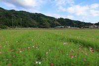 殿のコスモス畑- 開花状況下見 - - やきつべふぉと